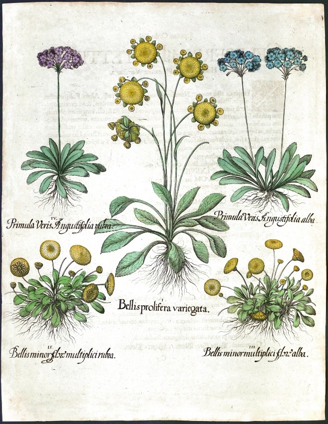 Bellis prolifera ... minor ... Primula Veris ...