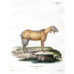 Capra Hircus Linn ecornis