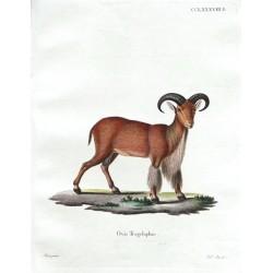 Ovis Tragelaphus
