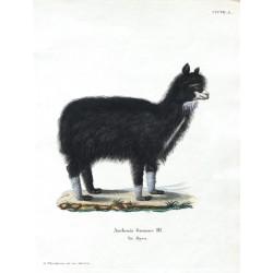 Auchenia Guanaco Ill. Var. Alpaca