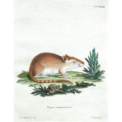 Dipus tamaricinus