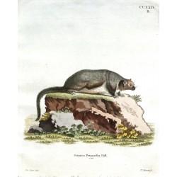 Sciurus Petaurista Pall. var.