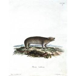 Hyrax hudsonius