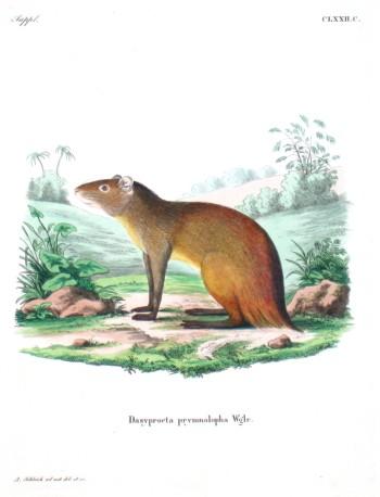 Dasyprocta prymnolopha Wglr.