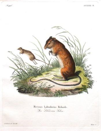 Meriones Labradorius Richards