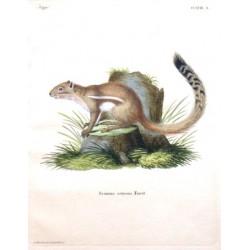 Sciurus setosus Forst