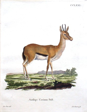 Antilope Corinna Pall.