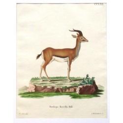 Antilope Kevella Pall.