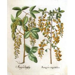 Anagyris angustisfoliis. Anagyris latisfoliis