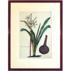 Pancratium I. Narcissus tertius Matthioli.