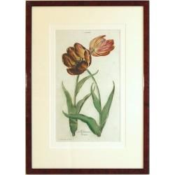Tulipa II. La Solitaire brune