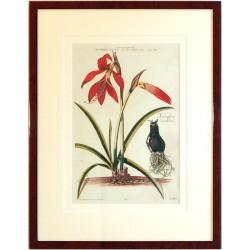 Lilio - Narcissus III. Sprekelia Heisteri ... Narcissus Jacobeus